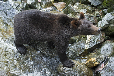 Grizzly Bear (Ursus arctos horribilis) in temperate rainforest, Anan Creek, Tongass National Forest, Alaska
