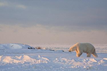 Polar Bear (Ursus maritimus) male at edge of sea ice, Churchill, Manitoba, Canada