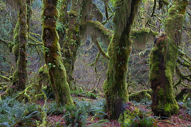 Temperate rainforest trees covered in moss, Hoh Rainforest, Olympic National Park, Washington
