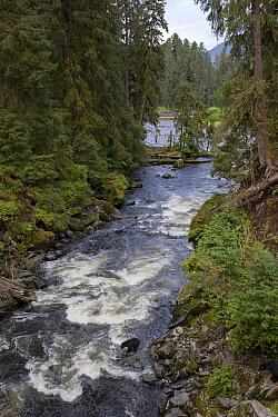 Black Bear (Ursus americanus) in salmon stream in temperate rainforest, Anan Creek, Tongass National Forest, Alaska