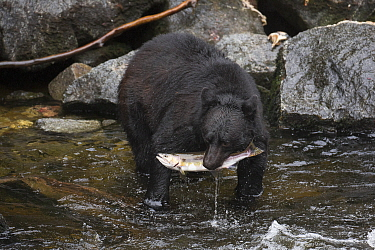 Black Bear (Ursus americanus) with Pink Salmon (Oncorhynchus gorbuscha) prey, Anan Creek, Tongass National Forest, Alaska