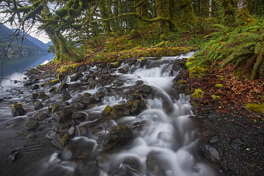 Creek flowing into lake in temperate rainforest, Lake Crescent, Olympic National Park, Washington