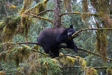 Black Bear (Ursus americanus) sleeping in tree in temperate rainforest, Anan Creek, Tongass National Forest, Alaska