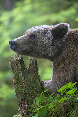 Grizzly Bear (Ursus arctos horribilis) juvenile in temperate rainforest, Anan Creek, Tongass National Forest, Alaska