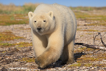 Polar Bear (Ursus maritimus) juvenile, Hudson Bay, Manitoba, Canada