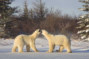 Polar Bear (Ursus maritimus) males fighting, Hudson Bay, Manitoba, Canada