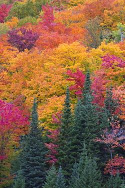 Forest in autumn, Algonquin Provincial Park, Ontario, Canada