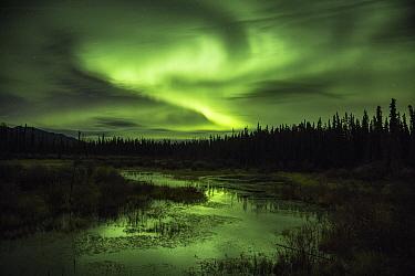 Aurora borealis above taiga, Whitehorse, Yukon Territory, Canada