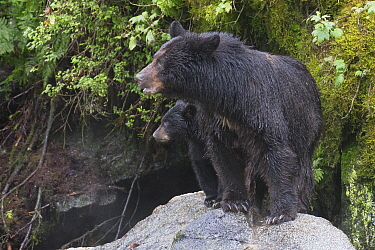 Black Bear (Ursus americanus) mother and cub in temperate rainforest, Anan Creek, Tongass National Forest, Alaska