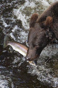 Grizzly Bear (Ursus arctos horribilis) with Pink Salmon (Oncorhynchus gorbuscha) prey, Anan Creek, Tongass National Forest, Alaska