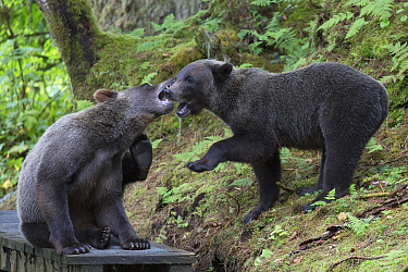 Grizzly Bear (Ursus arctos horribilis) yearling cubs playing in temperate rainforest, Tongass National Forest, Alaska