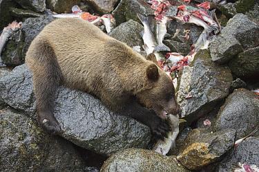 Grizzly Bear (Ursus arctos horribilis) cub feeding on Pink Salmon (Oncorhynchus gorbuscha) carcass, Anan Creek, Tongass National Forest, Alaska