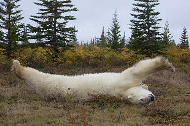 Polar Bear (Ursus maritimus) stretching, Hudson Bay, Manitoba, Canada