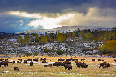 American Bison (Bison bison) herd grazing, Grand Teton National Park, Wyoming
