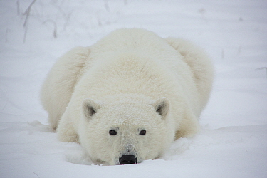 Polar Bear (Ursus maritimus) yearling cub, Hudson Bay, Manitoba, Canada