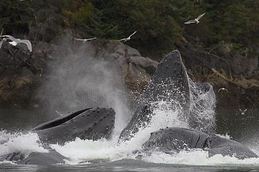 Humpback Whale (Megaptera novaeangliae) group gulp feeding, Alaska