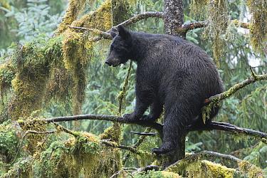 Black Bear (Ursus americanus) in tree in temperate rainforest, Anan Creek, Tongass National Forest, Alaska