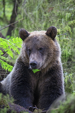 Grizzly Bear (Ursus arctos horribilis) yearling cub in temperate rainforest, Tongass National Forest, Alaska