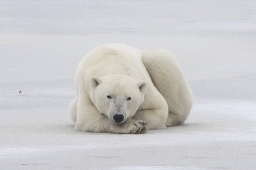 Polar Bear (Ursus maritimus) male resting on ice, Hudson Bay, Manitoba, Canada