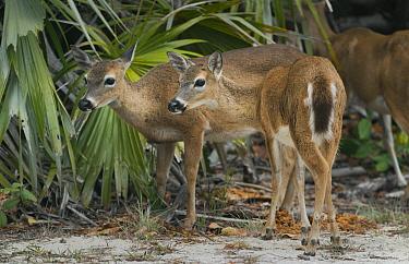 Key Deer (Odocoileus virginianus clavium) females, Florida Keys, Florida