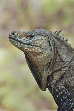 Ricord's Iguana (Cyclura ricordi), Lago Enriquillo National Park, Dominican Republic, Caribbean