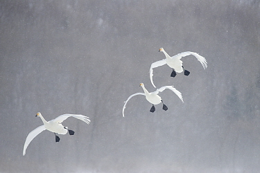 Whooper Swan (Cygnus cygnus) group flying in snowstorm, Lake Kussharo, Akan National Park, Japan