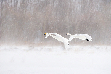 Whooper Swan (Cygnus cygnus) pair flying in snowstorm, Lake Kussharo, Akan National Park, Japan