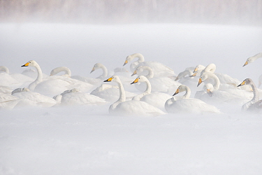 Whooper Swan (Cygnus cygnus) group in snowstorm, Lake Kussharo, Akan National Park, Japan