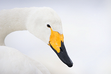 Whooper Swan (Cygnus cygnus), Lake Kussharo, Akan National Park, Japan