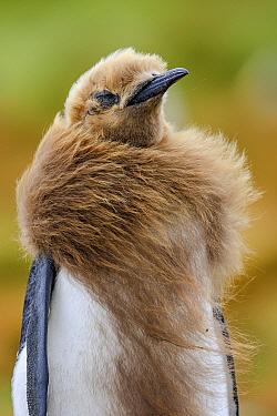 King Penguin (Aptenodytes patagonicus) chick molting, Volunteer Point, Falkland Islands