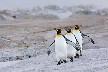 King Penguin (Aptenodytes patagonicus) group on beach, Volunteer Point, Falkland Islands