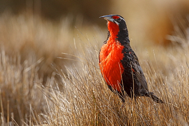 Long-tailed Meadowlark (Sturnella loyca) male, Falkland Islands