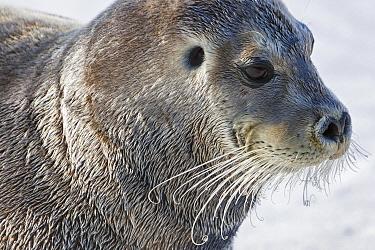 Bearded Seal (Erignathus barbatus)with open ear hole, Svalbard, Norway