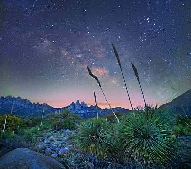 Agave (Agave sp) group at night, Organ Mountains-Desert Peaks National Monument, New Mexico