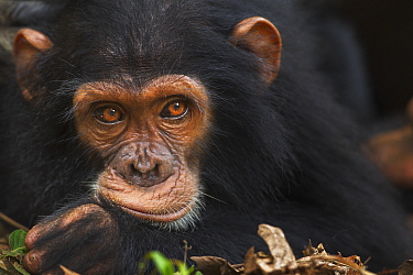 Eastern Chimpanzee (Pan troglodytes schweinfurthii) juvenile male, five years old, Gombe National Park, Tanzania
