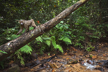 Olive Baboon (Papio anubis) juvenile walking on fallen tree, Gombe National Park, Tanzania