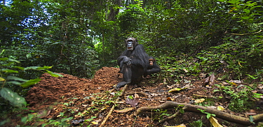 Eastern Chimpanzee (Pan troglodytes schweinfurthii) fourty-one year old female with her three year old baby son, Gombe National Park, Tanzania