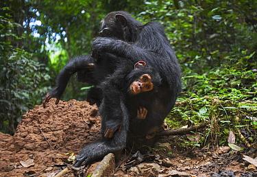 Eastern Chimpanzee (Pan troglodytes schweinfurthii) fourty-one year old female grooming her three year old baby son, Gombe National Park, Tanzania