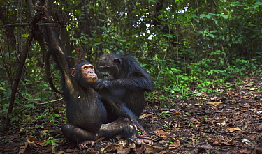 Eastern Chimpanzee (Pan troglodytes schweinfurthii) fourty-one year old female grooming her eight year old juvenile son, Gombe National Park, Tanzania
