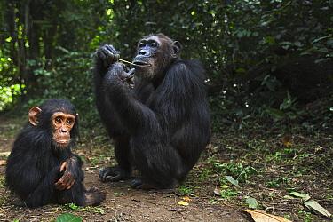 Eastern Chimpanzee (Pan troglodytes schweinfurthii) fourty-one year old female feeding on vines next to her three year old baby son, Gombe National Park, Tanzania