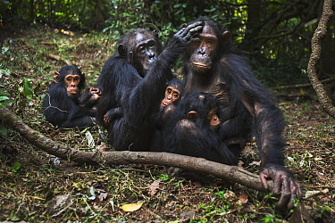 Eastern Chimpanzee (Pan troglodytes schweinfurthii) fourty-one year old female grooming her fourteen year old daughter, surrounded by young, Gombe National Park, Tanzania
