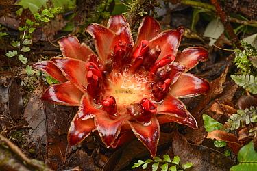 Ginger (Etlingera sp) flower, Papua, Indonesia