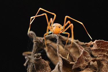 Ant-mimic Crab Spider (Amyciaea sp), Halmahera, North Maluku, Indonesia
