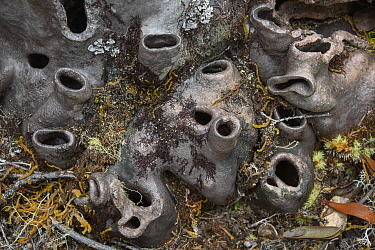 Ant Tree (Hydnophytum caminiferum) chimney-like openings along the tuber, West Papua, Indonesia