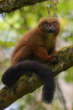 Red-bellied Lemur (Eulemur rubriventer), Andasibe, Madagascar