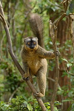 Red-fronted Brown Lemur (Eulemur fulvus rufus), Andasibe, Madagascar