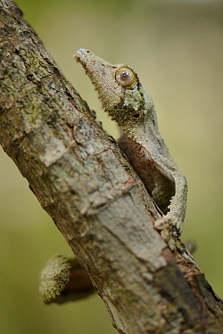Leaf-tailed Gecko (Uroplatus sikorae), Andasibe, Madagascar