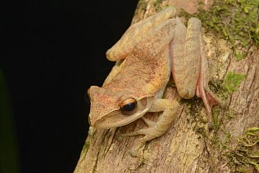 Mantellid Frog (Boophis sp), Palmarium Reserve, Madagascar