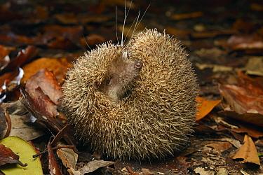 Greater Hedgehog Tenrec (Setifer setosus) in defensive posture rolled into a ball, Palmarium Reserve, Madagascar