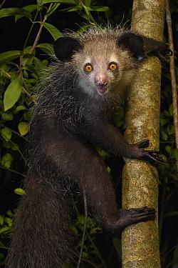 Aye-aye (Daubentonia madagascariensis), Aye-Aye Island, Madagascar